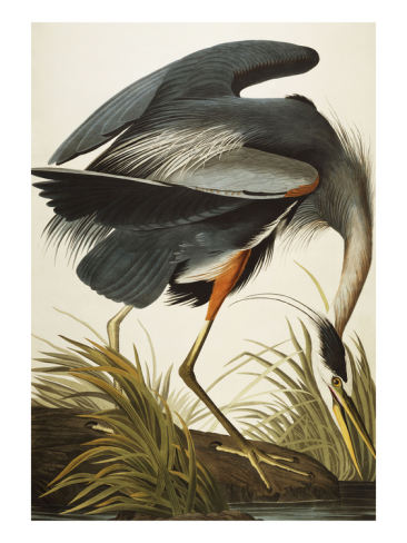 john-james-audubon-great-blue-heron-ardea-herodias-plate-ccxi-from-the-birds-of-america-_i-G-61-6116-6OKF100Z